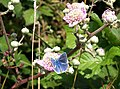 Blue butterfly near Grange Court - geograph.org.uk - 909271.jpg
