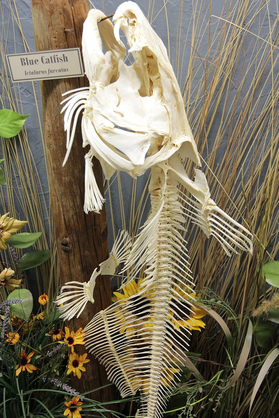 Blue catfish skeleton