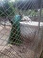 Blue neck peacock.jpg