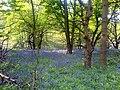 Bluebell carpet - geograph.org.uk - 418764.jpg