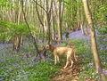 Bluebells in Hawes Wood - geograph.org.uk - 633415.jpg