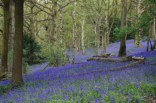 Bluebells oakerthorpe