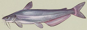 English: Artist's rendering of a Blue catfish ...