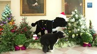 File:Bo Inspects the 2012 White House Holiday Decorations.webm