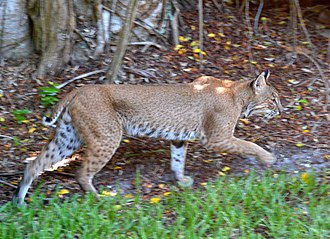 Sanibel, Florida - Bobcats are sometimes seen in Sanibel