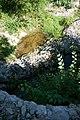 Bombina variegata 7(loz).JPG
