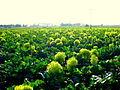 Brócoli 19 dic.JPG