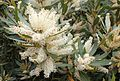 Brabejum stellatifolium - Cape Town tree - Flowers and foliage.jpg