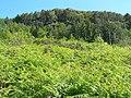 Bracken covered hillside - geograph.org.uk - 487984.jpg