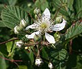 Bramble (Rubus fruticosus) - geograph.org.uk - 1380777.jpg