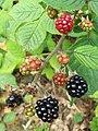 Bramble - blackberries (Rubus fruticosus) (3830807544).jpg