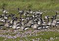 Branta bernicla vogelartinfo chris romeiks CHR2989.jpg