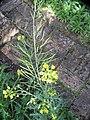 Brassica rapa L. (AM AK330285-2).jpg