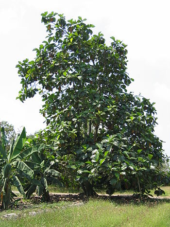 Breadfruit tree in Palmira Valle del Cauca Colombia