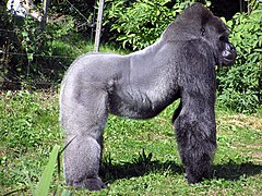 Goril·la occidental al zoo de Bristol(Gorilla gorilla gorilla)