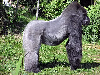 Sideview of western lowland gorilla silverback at Bristol Zoo