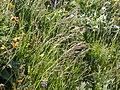 Bromus carinatus (3860266813).jpg