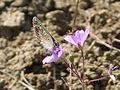 Brown Argus^ Aricia aegestis - Flickr - gailhampshire.jpg