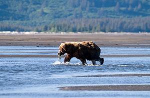 Alaska Brown Bear, Hallo Bay, Katmai National ...