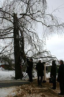 Brzoza smoleńska – Wikipedia, wolna encyklopedia