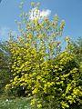 Budai Arborétum. Alsó kert, kőrislevelű juhar 'Kelly's Gold' fajtája, 2016 Újbuda.jpg