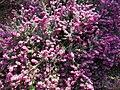 Budai Arborétum. Alsó kert. Alpesi hanga vagy hússzínű erika (Erica carnea). - Budapest.JPG