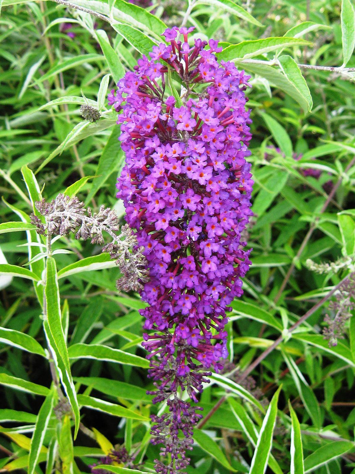 Buddleja Davidii Monum Nanho Purple Wikipedia