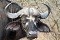 Buffalo, Kruger National Park, South Africa (14964391226).jpg