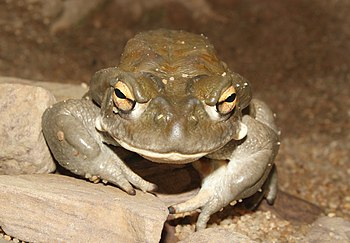 English: Colorado River Toad, Incilius alvariu...