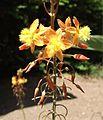 Bulbine frutescens 'Tiny Tangerine'.jpg