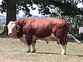 Bull, Holme Lacy, Herefordshire - geograph.org.uk - 212171.jpg