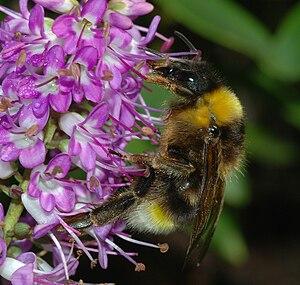 Psithyrus - Image: Bumblebee January 2008 4