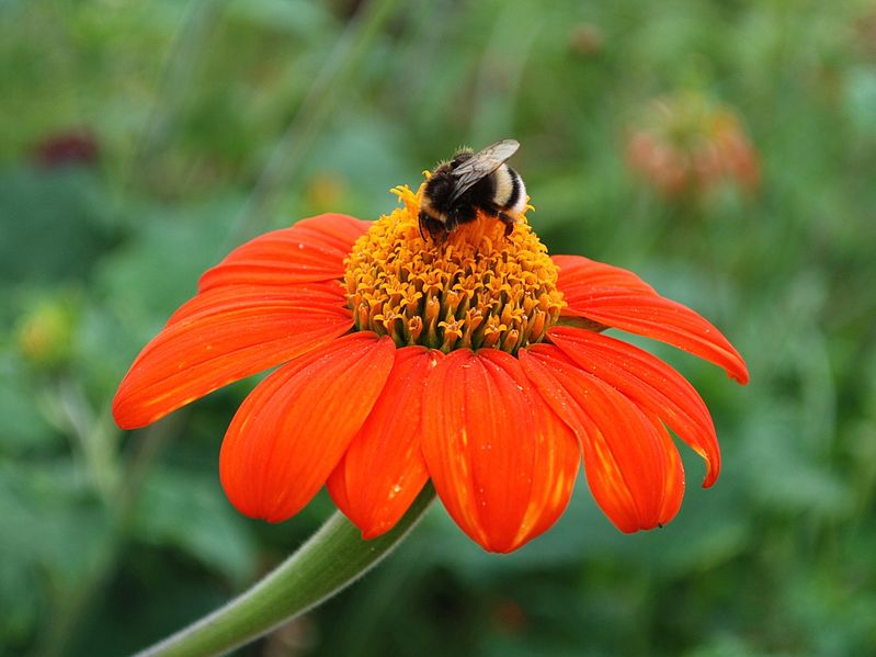 File:Bumblebee on Echinacea Flower.JPG