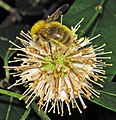 Bumblebee on buttonbush flowers (Newark, Ohio, USA) 1.jpg