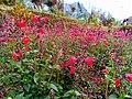 Bunga Di Karangreja.jpg