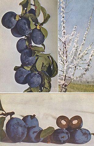 Бескосточковая слива Бёрбанка. По изданию 1914 года На разрезе плода заметно увеличенное ядро без твёрдой оболочки.