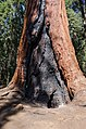 Burnt lower trunk of a giant sequoia 2013.jpg