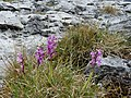 Burren Flora 29 Early Purple Orchid (3585589605).jpg