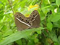 Bushbrown mating.jpg