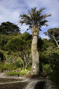 Butia capitata, Tresco, Scilly, Regne Unit