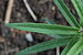 Butterfly Weed Asclepias tuberosa Young Leaf 3008px.jpg