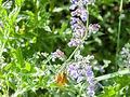 Butterfly on flower (14234847418).jpg
