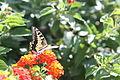 Butterfly sicily2.JPG