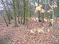 Buxton Wood - geograph.org.uk - 1089752.jpg