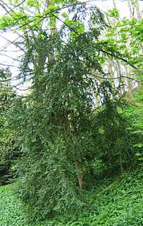 <i>Buxus sempervirens</i> species of plant