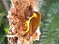 C.jugularis (F) at nest entrance.jpg
