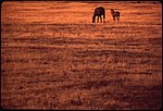 two horses in the distance of a field, shown at sunset