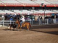 CFD Team Roping - Released steer starting to exit arena.jpg