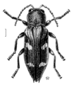 COLE Buprestidae Nascioides enysi.png