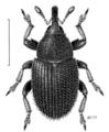 COLE Curculionidae Mecinus pascuorum.png